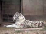 Tigre_de_blanco1
